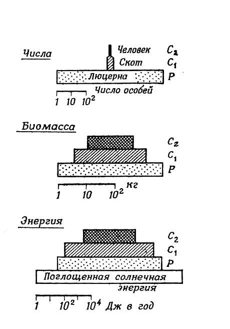 Сравнение пирамид чисел, биомассы и энергии для гипотетической пищевой цепи люцерна-скот-человек (на 4 га).